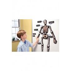 Hands On 3D Magnets Skeletal System